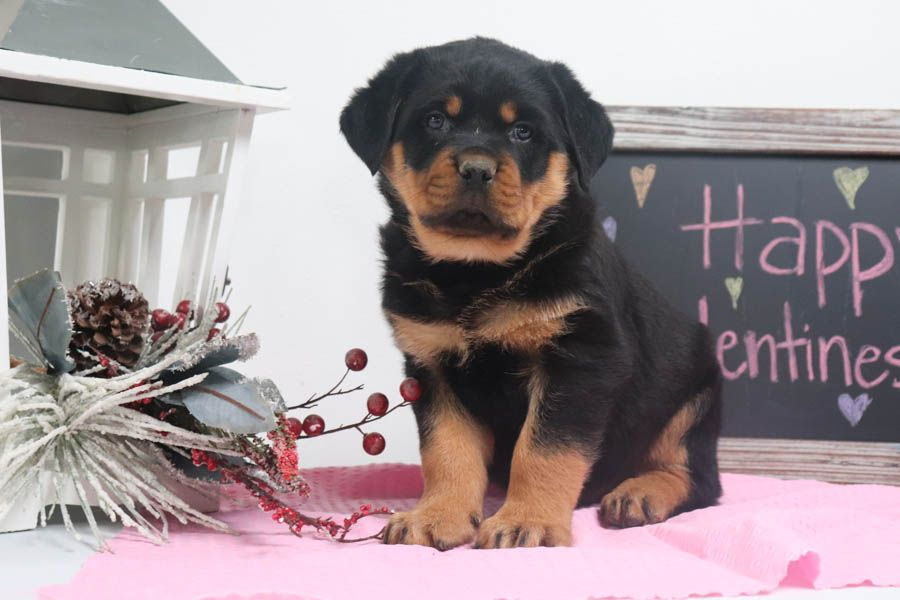 Pin by david little on rottweiler in 2020 rottweiler