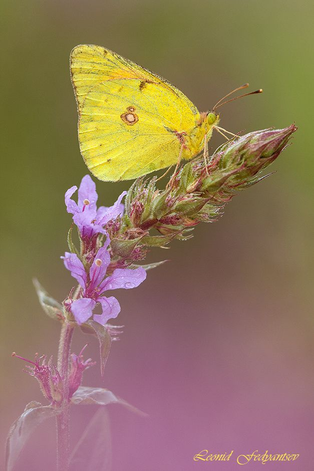 The Danube Clouded Yellow by Leonid Fedyantsev on 500px