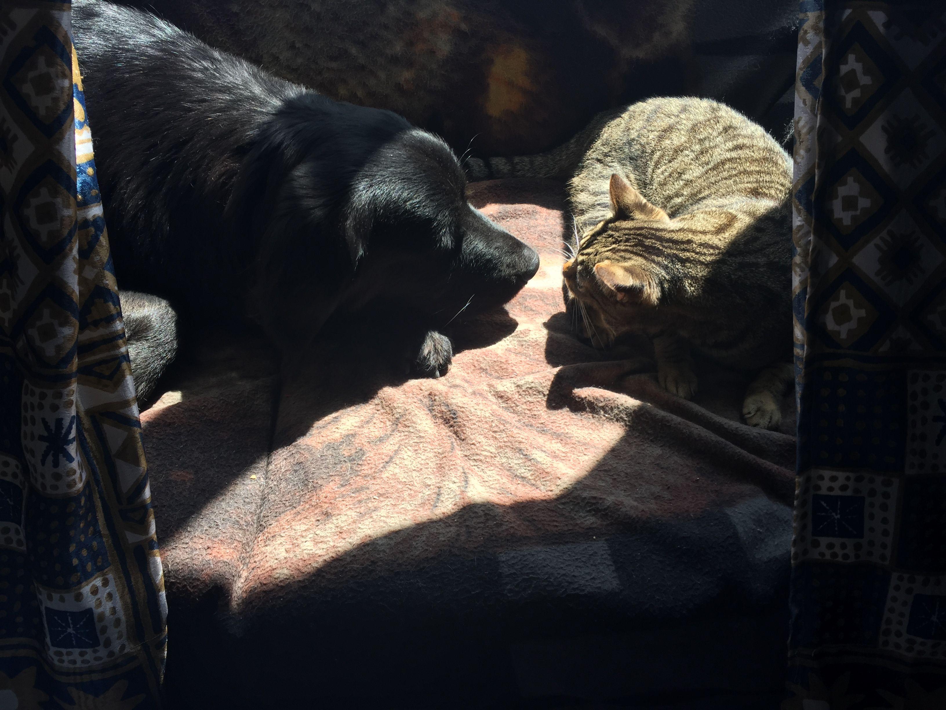 #Tom #Cat #Freya #Dog #Puppy # #LoveAnimals #CanaryIsland #GoldenRetriever #BlackGolden #BlackDog #MyMonster #Puppy #Pet