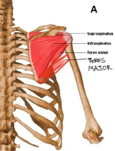 Teres Minor Teres Major Massage Pinterest Nervous