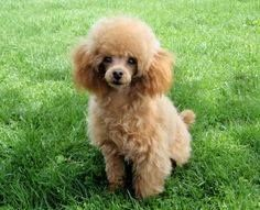 Red Poodle Puppy with mustache… does your fur