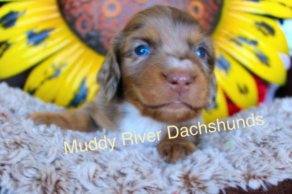 Muddy River Dachshunds Dachshund Puppies Dachshund Puppy Miniature Dachshund Dog