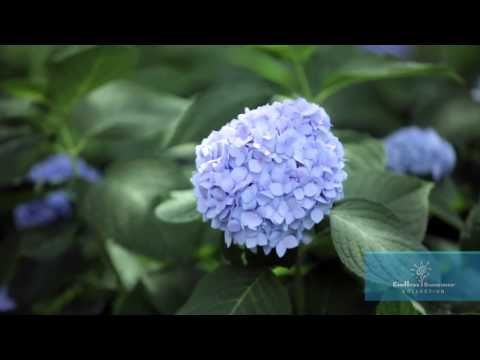 Popular Tokyo Camera Club Beautiful Hydrangeas Hydrangea Landscaping Beautiful Gardens