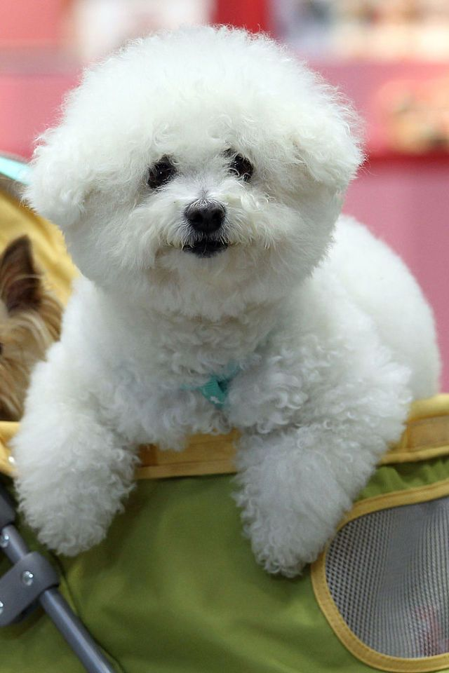14 Small White Dog Breeds To Add To Your Family Asap Dog Breeds White Dog Breeds White Dogs