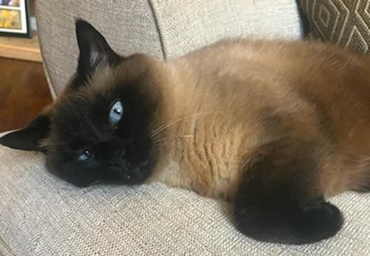Purebred Siamese Cat For Adoption Near Plano Dallas Garland Texas In Wylie Adopt Sweet Bella Today Cat Adoption Siamese Cats Siamese