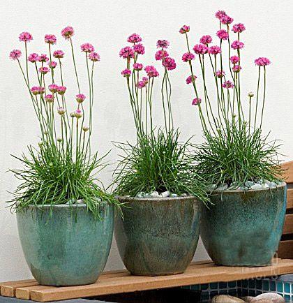 Как вырастить лук-шнитт из семян на подоконнике   Садовые ...