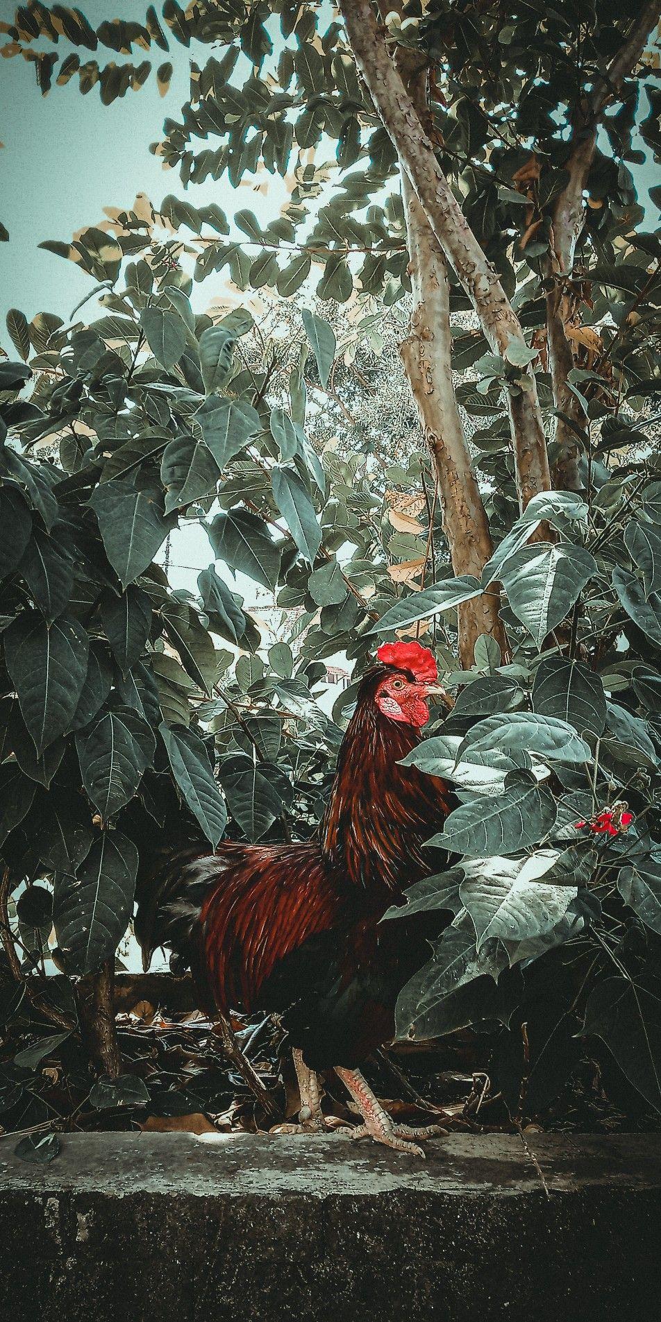 Wallpaper Ayam