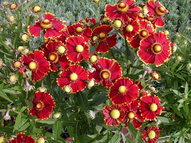 Helenium Autumnale Helena Red Shades Perennial That