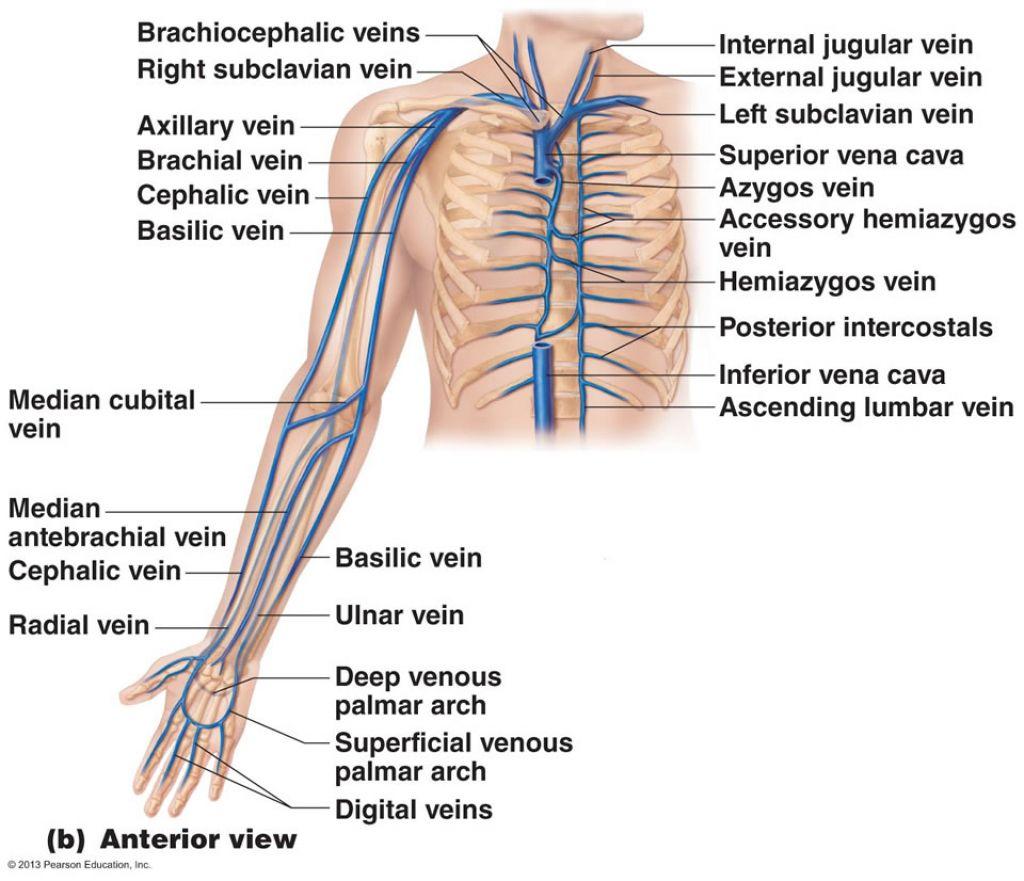 Blood Supply To The Upper Limb Blood Vessels Of Upper Limb