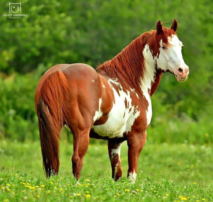 1000 Images About Paint On Pinterest: Most Beautiful Paint Horses