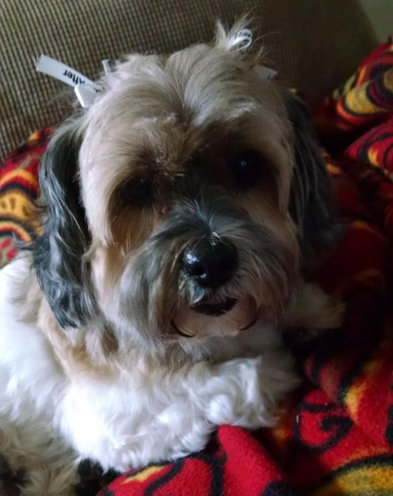 Adopt Emma on Shih tzu maltese mix, Shih tzu dog
