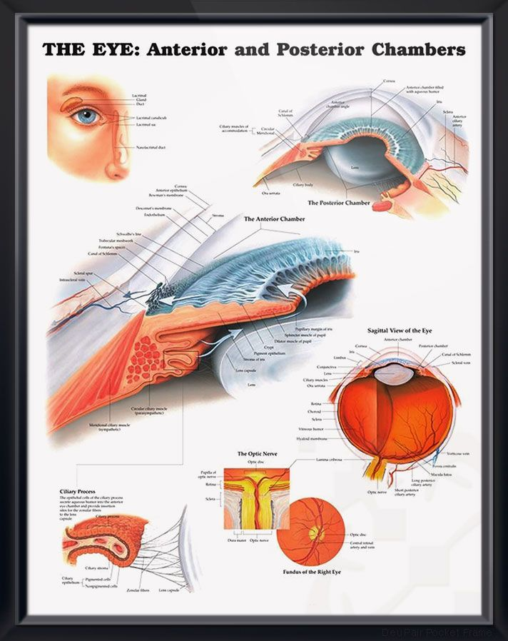 The Eye Anterior And Posterior Chambers Chart 20x26 Health Eye