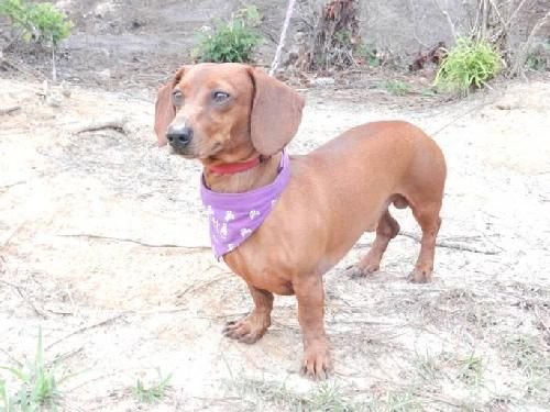 Pirate A Handsome Dachshund Available For Adoption With Furever