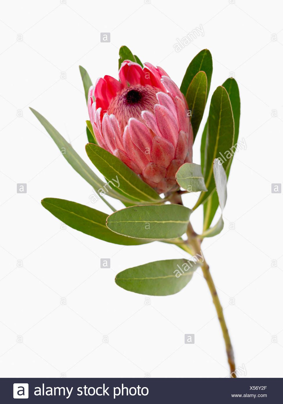 Protea Neriifolia X Susannae Pink Ice Single Flower On Leafy Stem Against A White Background Stock Photo 278592119 In 2020 Single Flower Flowers White Background