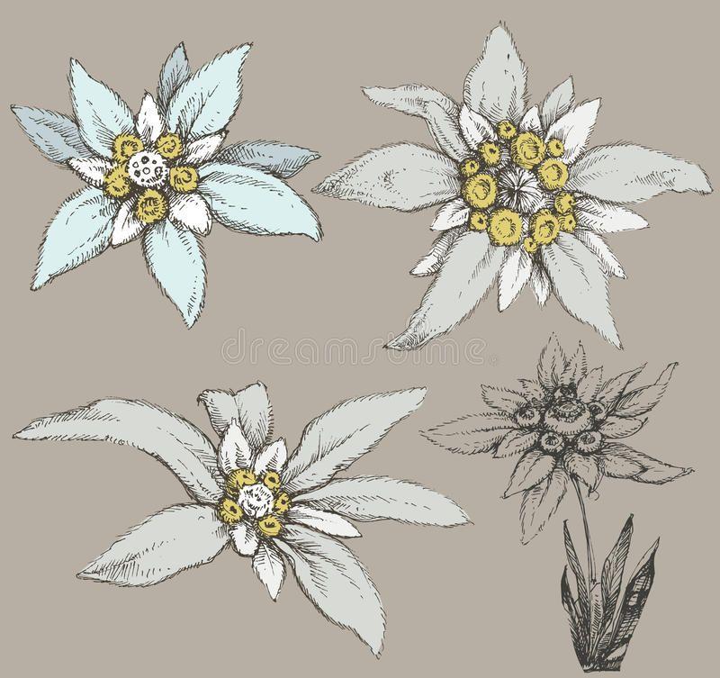 Coloriage Fleur Edelweiss.Resultat De Recherche D Images Pour Fleur Edelweiss Dessin Idees