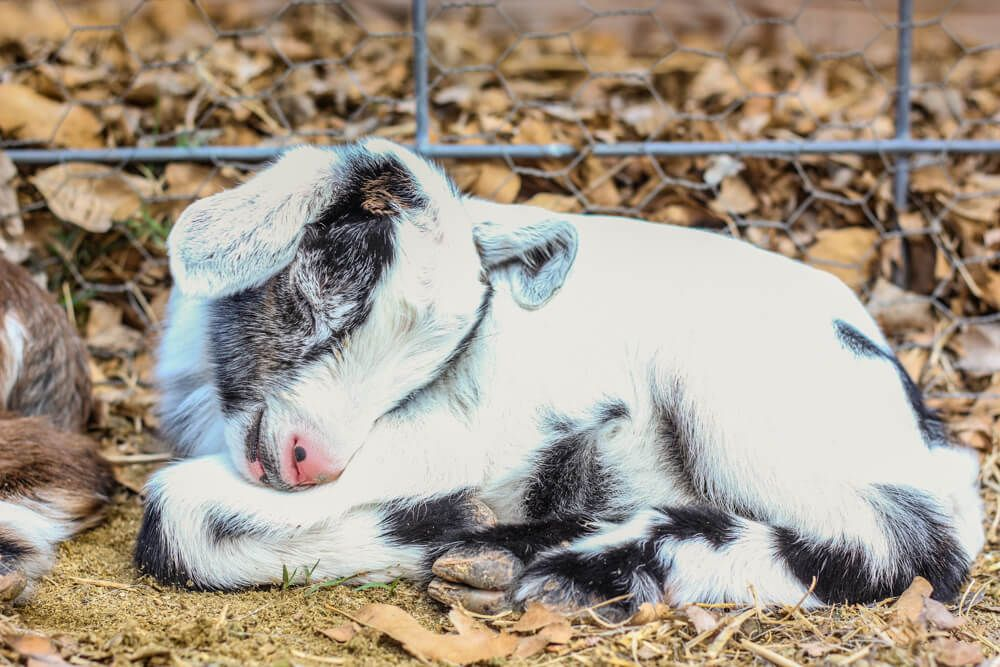 Assisting a Goat Birth Delivery {A Video Tutorial}