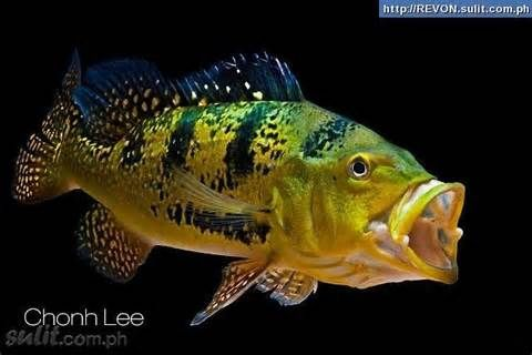 Peacock bass bass pinterest peacock bass for Bass fish tank