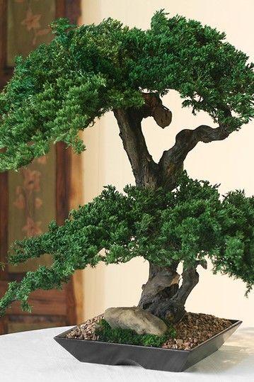 Preserved Real Double Double Monterey Bonsai By Forevergreenart Bonsai Tree Bonsai Tree Types Bonsai Art