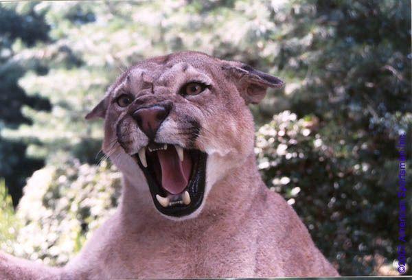 cougar_head030