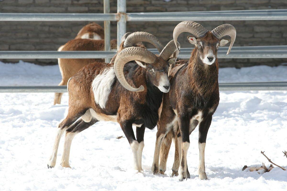 mouflon sheep Google Search National animal, Sheep