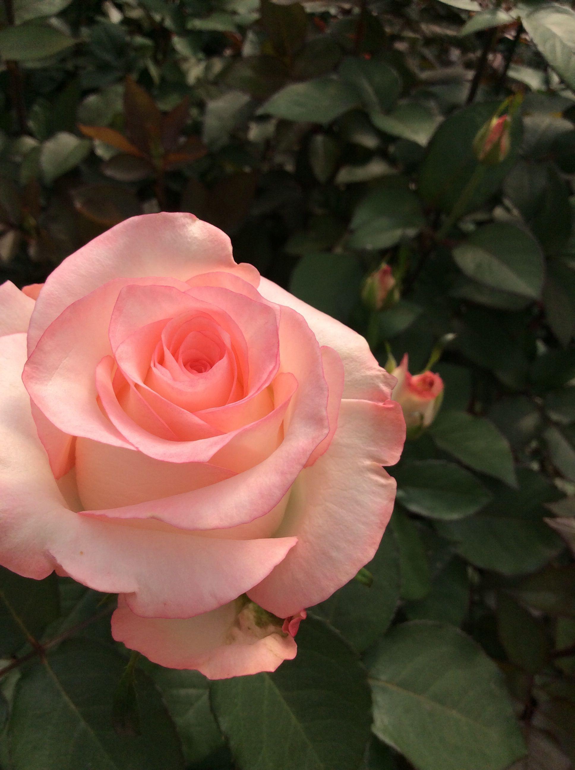 Boulevard Massive Light Pink Bi Colour Rose Simply Stunning