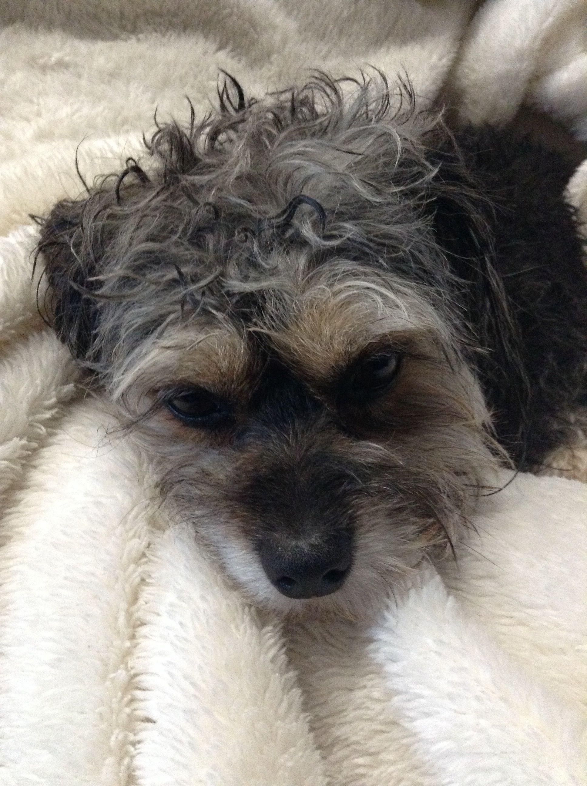 My dog Bella  Yorkie/poodle
