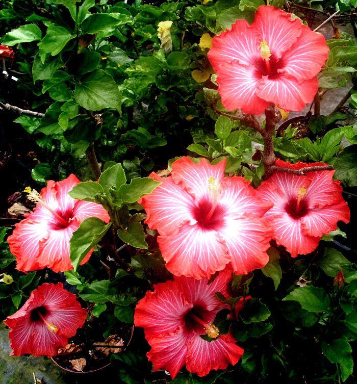Hibiscus Hibiscus Plant Hibiscus Garden Hibiscus Flowers