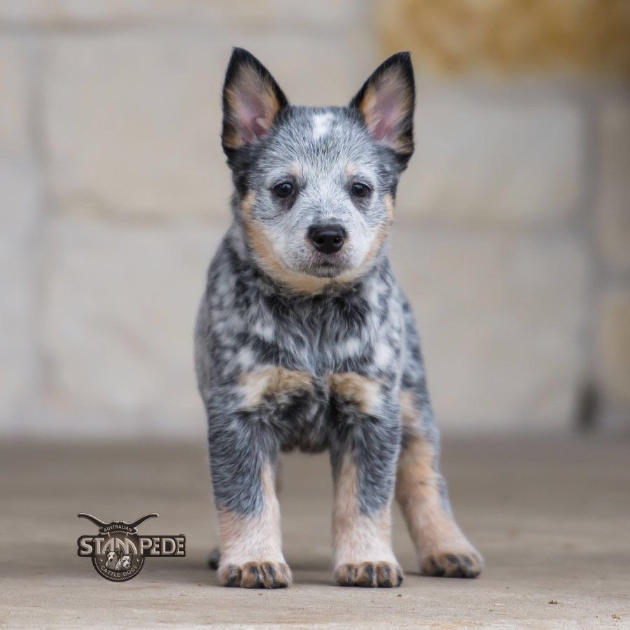 Australian Cattle Dog Blue Heeler Puppy Dogs Heeler Puppies Austrailian Cattle Dog Dog Breeds