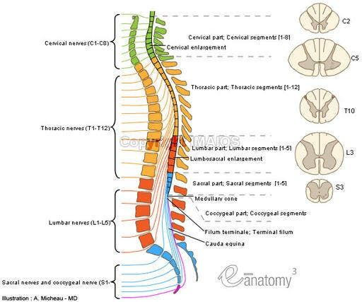 Anatomy Spinal Cord Cervical Enlargement Lumbosacral Enlargement Medullary Cone Spinal Part Of Fil Spinal Cord Spinal Cord Anatomy Spinal Cord Injury As a result the dorsal and ventral roots continue to grow as their exit points move further away. anatomy spinal cord cervical