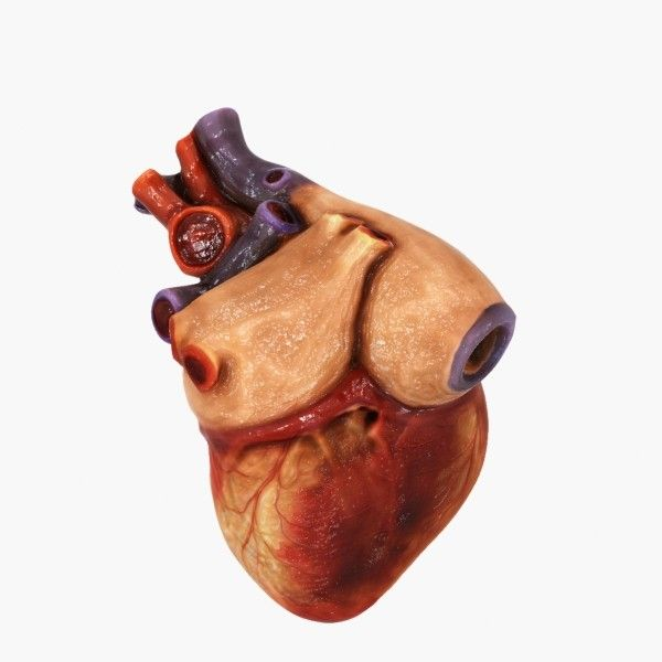 3d model of a human heartdownload today michaeltaylor3d 3d model of a human heartdownload today ccuart Choice Image