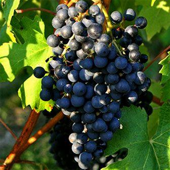 Ancellotta é uma uva nativa da Itália, mais especificamente proveniente da província Reggio nell'Emilia, na região de Emilia-Romagna. Mas é um erro acreditar que a cepa ficou confinada às fronteiras do seu berço de nascimento. Essa é uma uva que ganhou espaço nos vinhedos de outras regiões do norte da Itália, do sul da Suíça, da Espanha, da Argentina, e até mesmo do Brasil.
