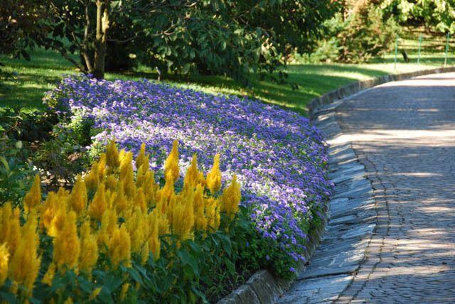 Floss Flower Ageratum Houstonianum Ageratum Blue Horizon Ageratum Blue Danube Beautiful Gardens Garden Styles Garden Inspiration