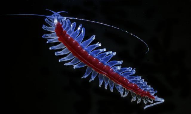 Tomopterid-1  Tomopteris - midwater polychaete