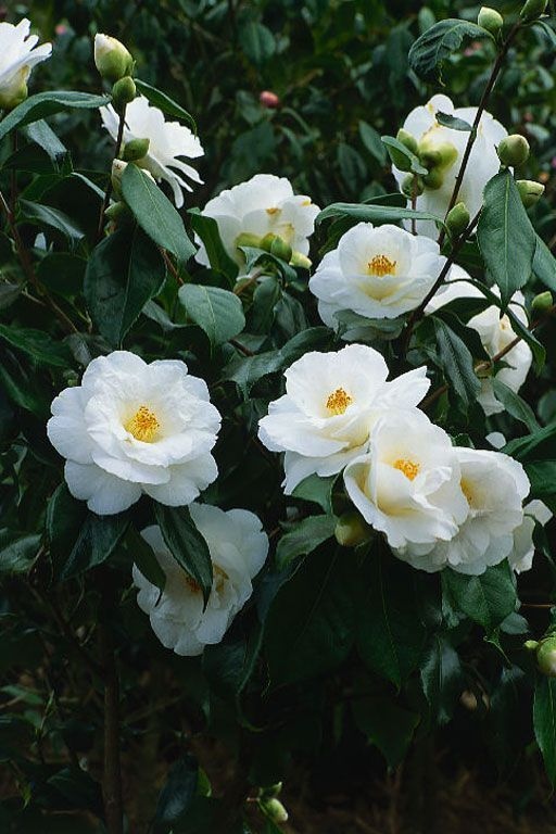 Camellia Japonica Lovelight Protractedgardenprotractedgarden Camellia Flower Beautiful Flowers Plants