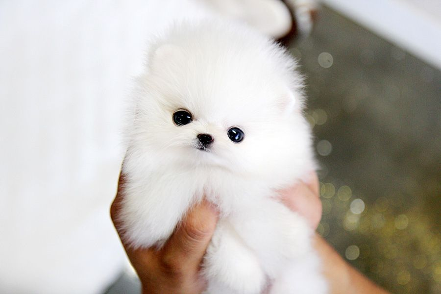Teacup white Pomeranian love obsession | Cute lil animals ...