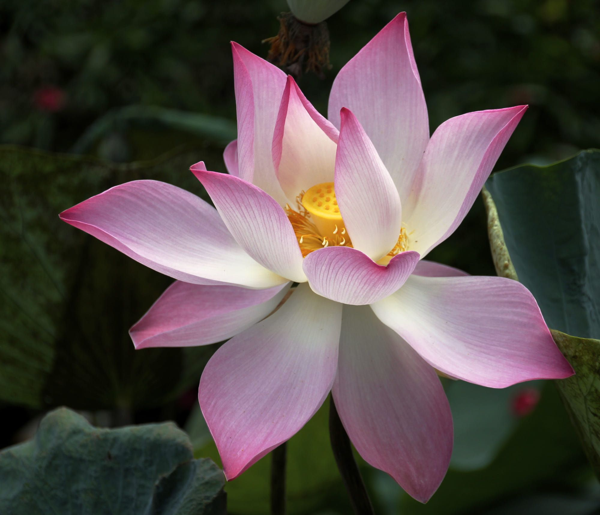 the lotus flower symbolizes good fortune in Buddhism. The