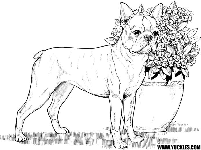 boston terrier coloring page coloring pages pinterest dog