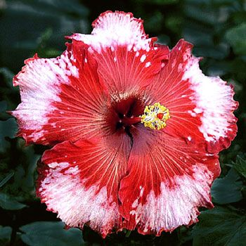 Hibiscus Strawberry Fields Forever Beauty And Designs In Nature