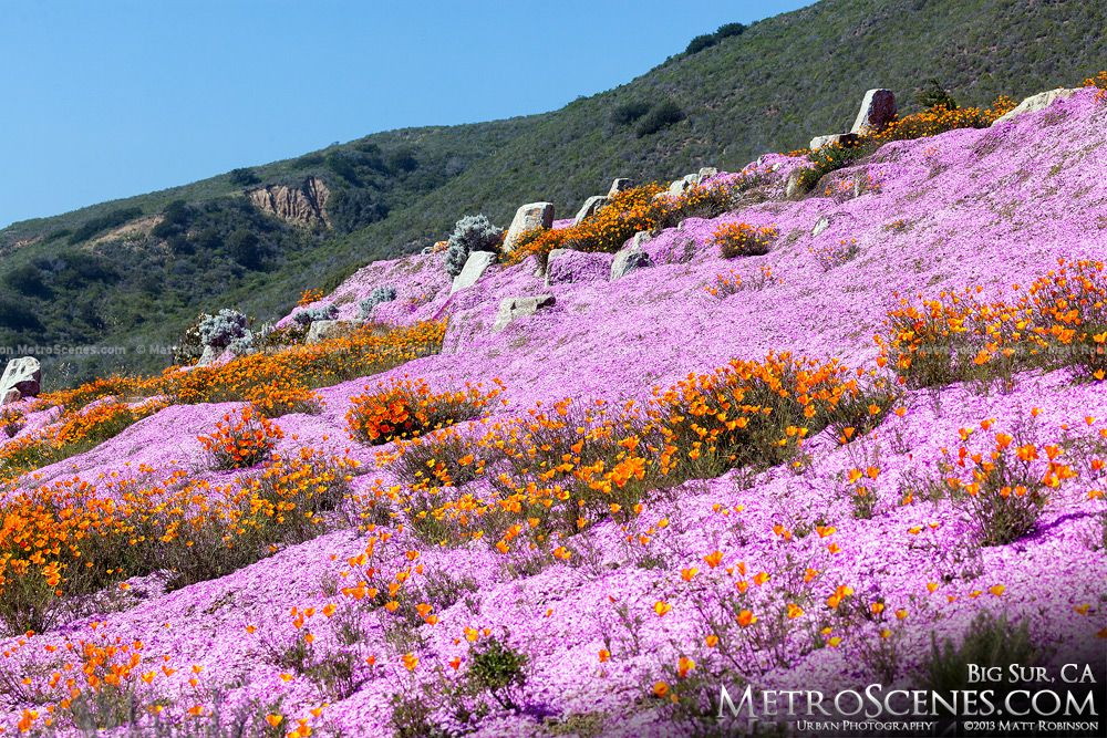 Pink and orange flowers, Big Sur, California, United States