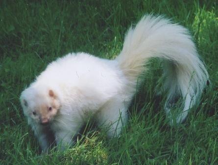 albino skunk!