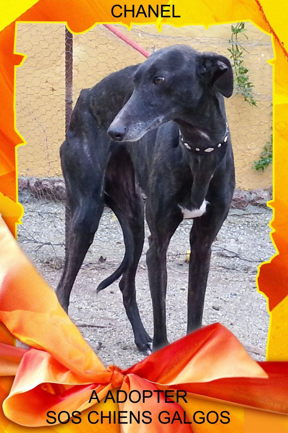 chanel galga martyre a l'adoption 21/2/2014 chez sos chiens galgos