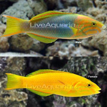 Banana Wrasse Thalassoma Lutescens 89 99 Minimum Tank Size 125 Gallons Care Level Easy Temperament Aggressiv Salt Water Fish Saltwater Tank Fish Tank