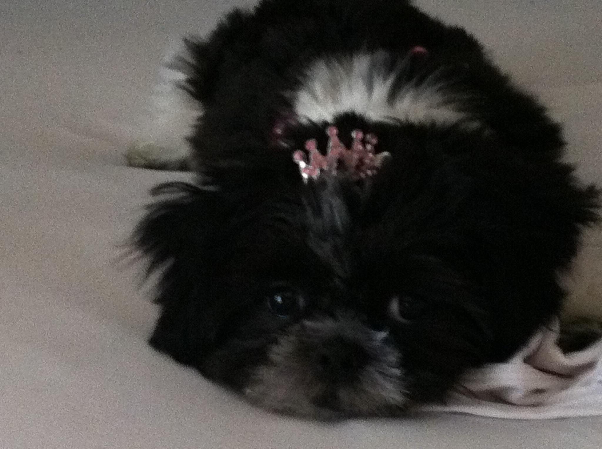 Gidget, my shih tzu princess!