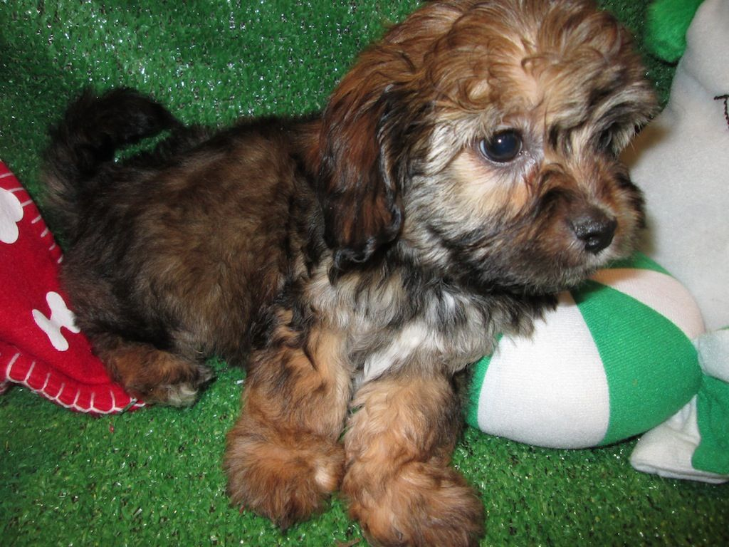 Cavanese Puppies For Sale. Cavalier King Charles Spaniel X