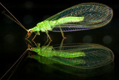 Lacewing Eggs On Sale For Gardens Lacewing Insects Eggs For Sale