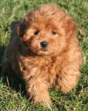 Miniature Goldendoodles And Miniature Irishdoodles Golden Retriever Poodle Mix Goldendoodle Goldendoodle Puppy