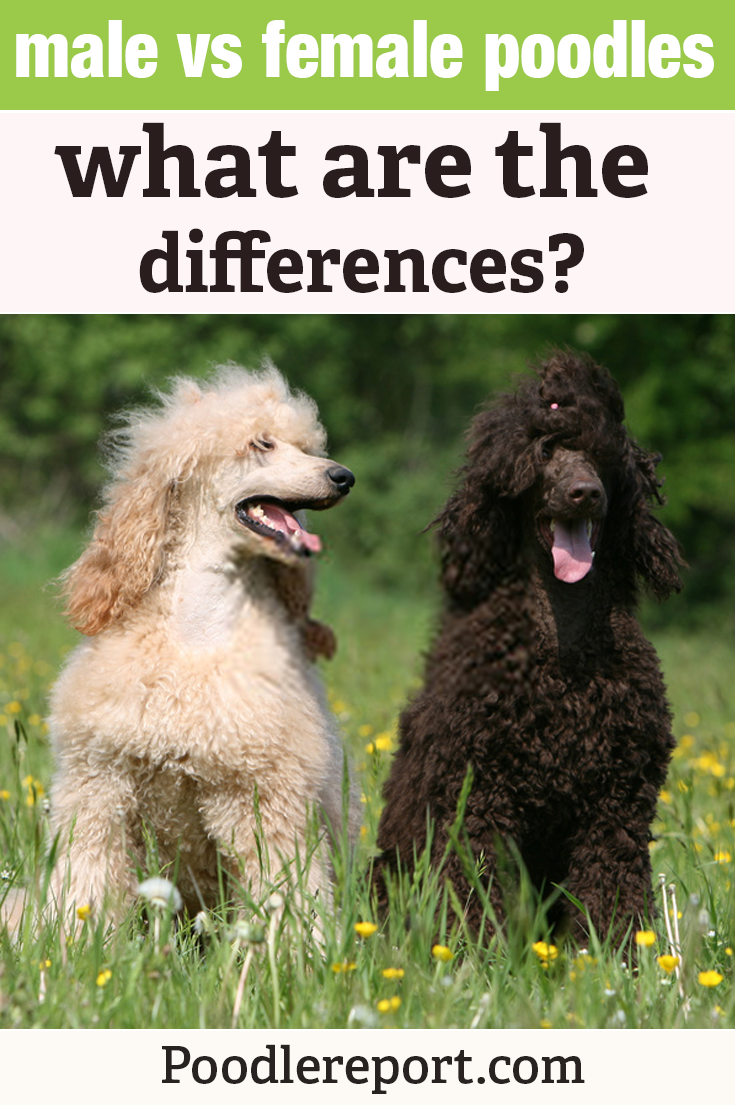 Do Poodles Have Fur Or Hair What Is The Difference In 2020