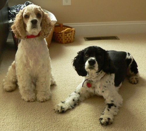 American Cocker Spaniel Haircuts This Week S Featured Cocker