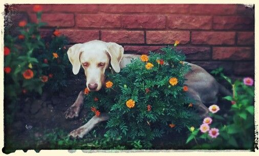 My flower child - Weimeraner