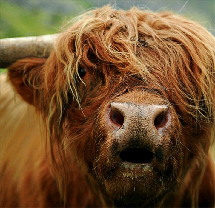 Steve As A Cow If He Still Had His Long Hair Scottish Highland Cow Highland Cow Cow Photography